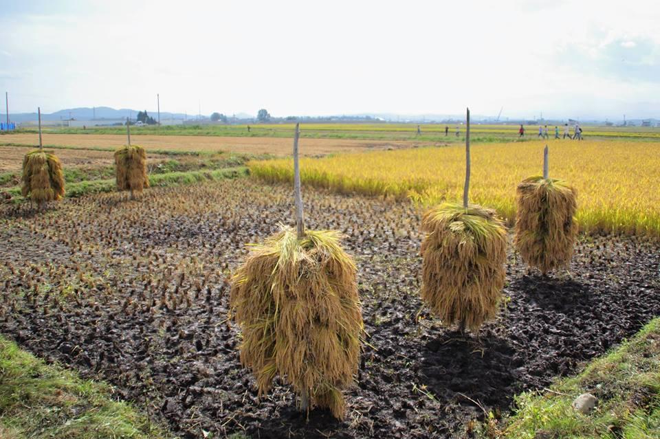 山形県新庄市,さわのはな,稲刈り体験,農業体験,玄米,土鍋
